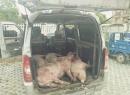 坏良心了!一对夫妻竟然拉着四头病死生猪进城贩卖,在南辰被查获!
