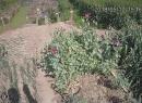东海一妇女家里种了170余株罂粟,竟然是为了...
