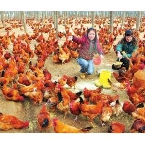"""东海有""""鸡""""食品俏龙年"""